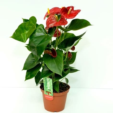 Anthurium | Petal Flowers