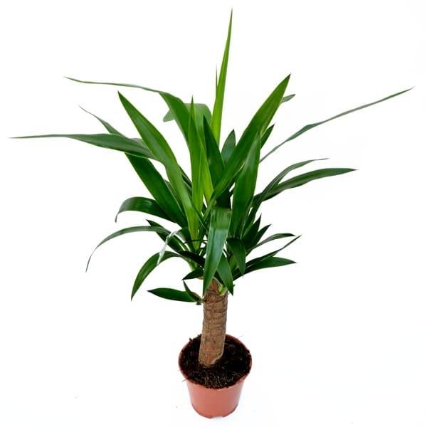 Yucca 1 tulpina | Petal Flowers