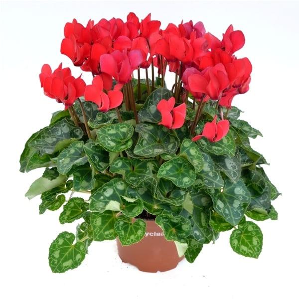 Cyclamen extra | Petal Flowers