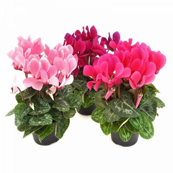 Cyclamen mini | Petal Flowers