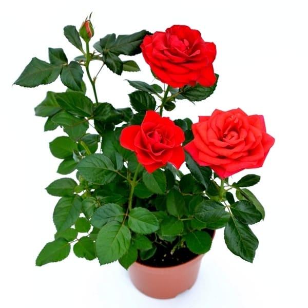 Rosa – trandafir la ghiveci | Petal Flowers