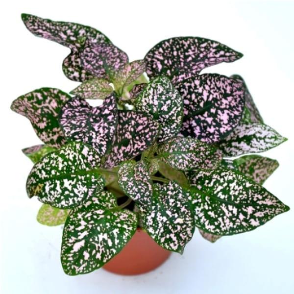 Hypoestes | Petal Flowers