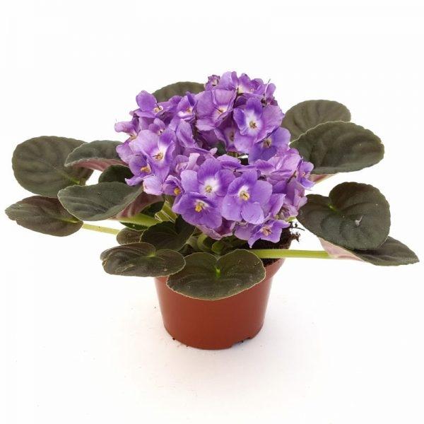Violete de Parma | Petal Flowers