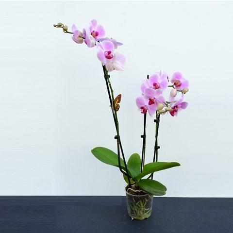 Phalaenopsis – Orhidee | Petal Flowers
