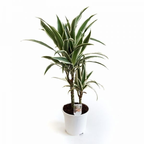 Dracaena white stripe | Petal Flowers