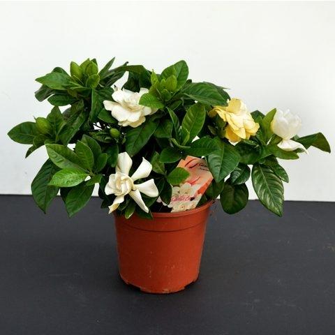 Gardenia | Petal Flowers