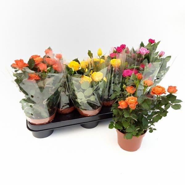Trandafiri – Rosa Kordana | Petal Flowers