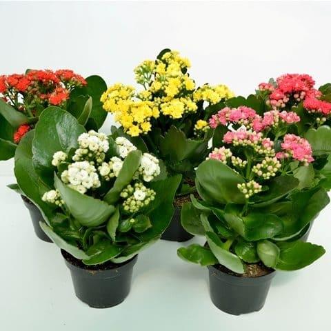 Kalanchoe Calandiva | Petal Flowers