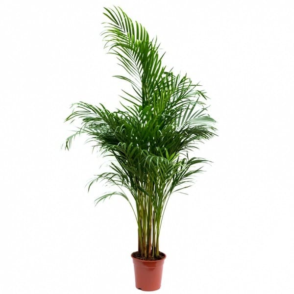 Chrysalidocarpus – areca | Petal Flowers