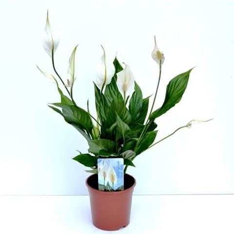 Spathiphyllum mini | Petal Flowers