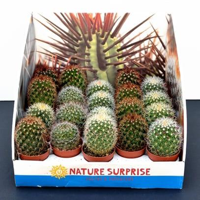 Cactus mamilaria | Petal Flowers