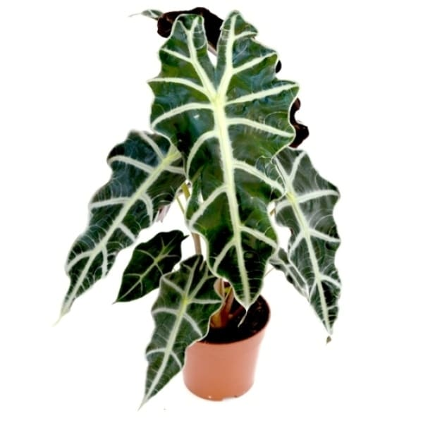 Alocasia polly | Petal Flowers