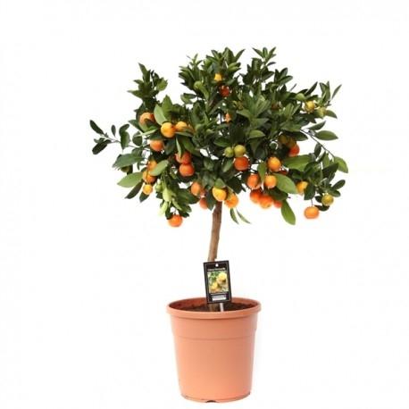 Mandarini | Petal Flowers