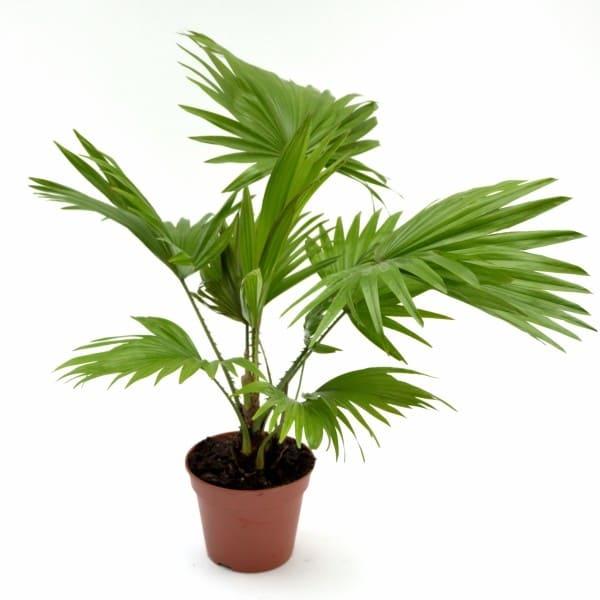 Livistonia – Palmier | Petal Flowers