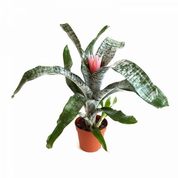 Aechmea Fasciata | Petal Flowers