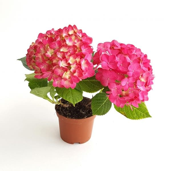 Hortensia in ghiveci mic premium | Petal Flowers