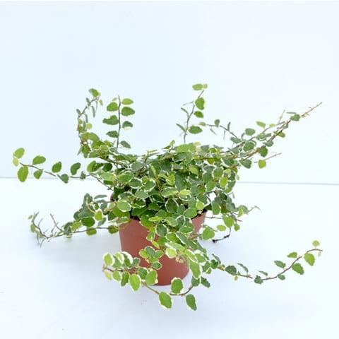 Ficus Pumilla | Petal Flowers