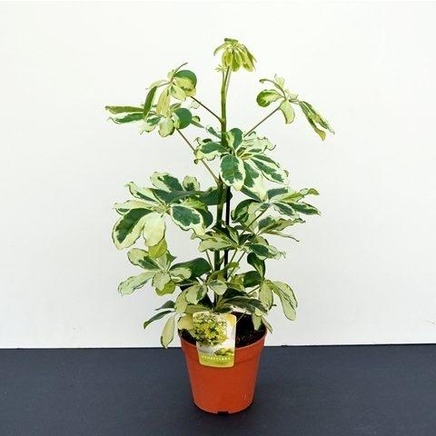 Schefflera Charlotte | Petal Flowers