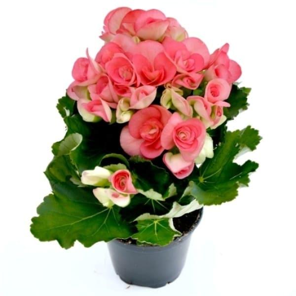 Begonia Elatior Mare | Petal Flowers